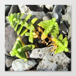 Watercolor Forb, Opposite Leaved Succulant 01, Borgarnes, Iceland Canvas Print