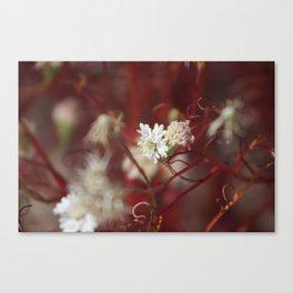 Pincushion Wildflowers Pincushion Wildflowers Canvas Print