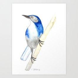 California Scrub Jay Art Print