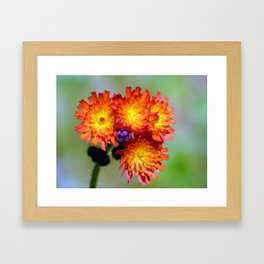 Orange Hawkweed Framed Art Print