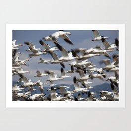 Snow Geese Taking Flight Art Print