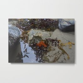 Collection of Seaweed in a Shallow Rockpool Metal Print