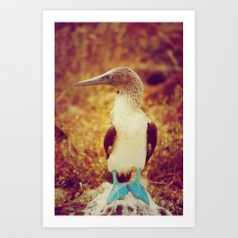 Blue Footed Boobie Art Print