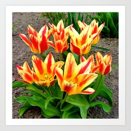 Orange Yellow Tulpis,Spring Flowers Art Print