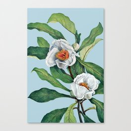 Franklin tree flowers Canvas Print