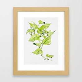 Devils Ivy Illustration Framed Art Print