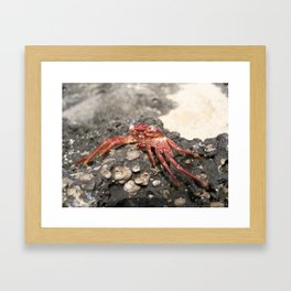 Looking Crabby Framed Art Print