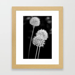 Allium cristophii Framed Art Print