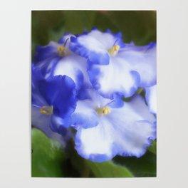 Blue Begonias Poster
