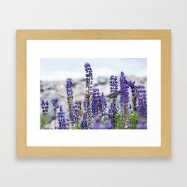 Lupines Framed Art Print