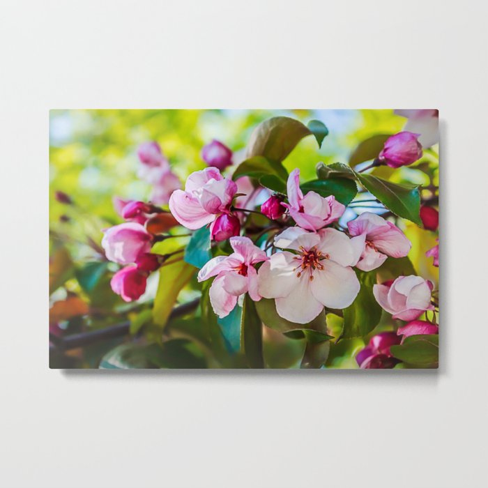 Pink apple blossom Metal Print