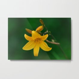 Blossoming Golden Yellow Lily on Green Background Metal Print