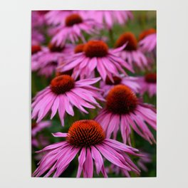 Pink echinacea flowers Poster