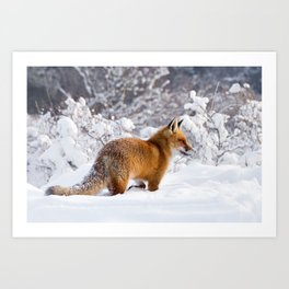 Fire 'n Ice .:. Red Fox in the Snow Art Print