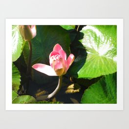 Hanalei Lotus, by Mandy Ramsey, Haines, AK Art Print