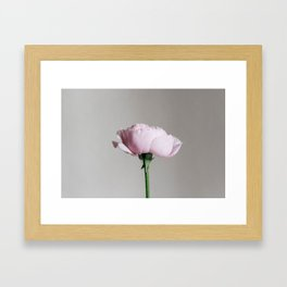 Bloomed Garden Rose Framed Art Print