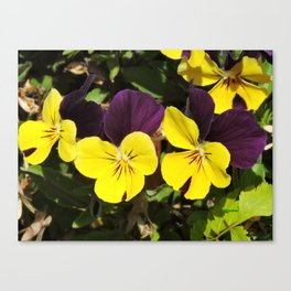 The Pansies at the Corner Canvas Print