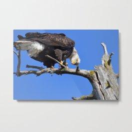 Alaskan Bald Eagle - Quizzical Metal Print