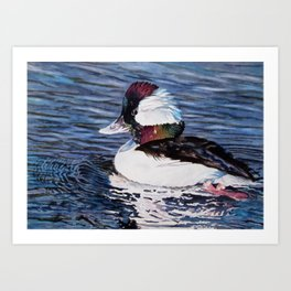 Bufflehead Duck Art Print