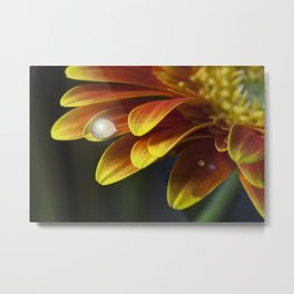 Macro photograph of a water drop on a yellow & orange Gerbera Daisy  petal with added lens flare. Metal Print