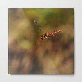 Red dragonfly flying Metal Print