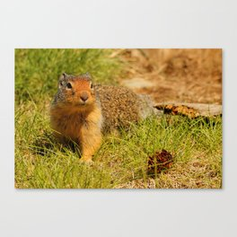 Twitchy Nosed Columbian Ground Squirrel Canvas Print