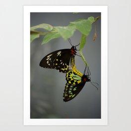 Mating Cairns Birdwings Art Print