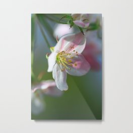 Apple Tree Blossoms In Spring Metal Print