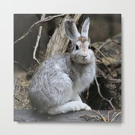 Snowshoe Hare Rabbit Metal Print