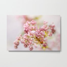 purple Syringa vulgaris or lilac buds Metal Print