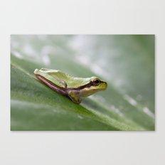 Mediterranean Tree Frog 1095 Canvas Print