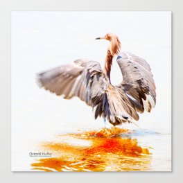 Reddish Egret 8 by Darrell Hutto Canvas Print