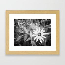 Black-eyed Susan 1 Black and White jjhelene Framed Art Print