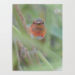 An Allen's Hummingbird Amid Mexican Sage Poster