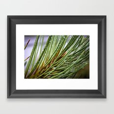 Water Drops On A Pine Tree Branch Framed Art Print