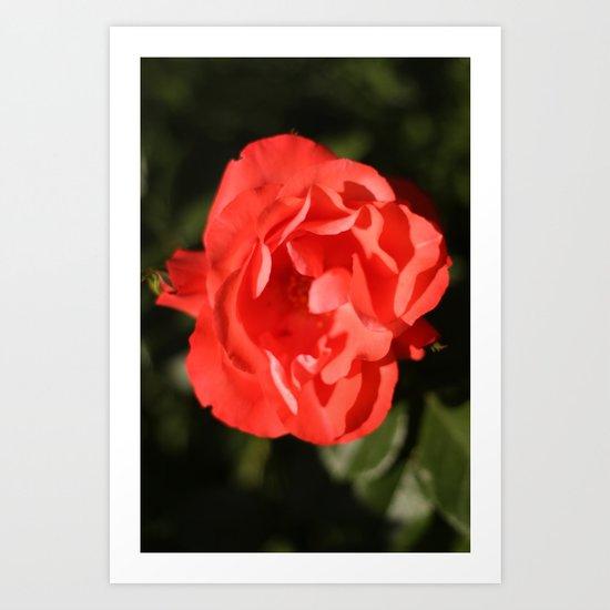 Rose - Red Art Print