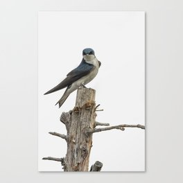 Tree Swallow with Flair Canvas Print