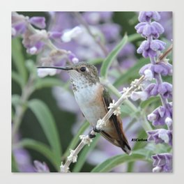 Ms. Hummingbird's Break Time in Mexican Sage Canvas Print