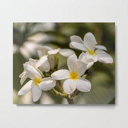Plumeria, floral photography Metal Print