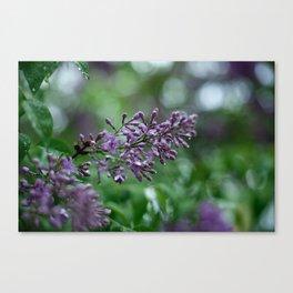 Rainkissed Lilacs Canvas Print