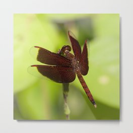 Macro photograph of a Dragonfly on a Leaf  Metal Print