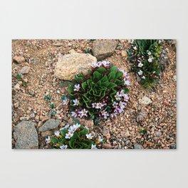Alpine Spring beauty Colorado Canvas Print