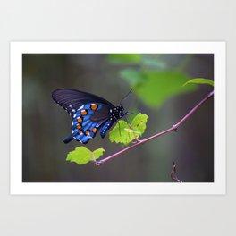 Pipevine Swallowtail Art Print