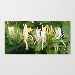 Closeup shot of Lonicera European Honeysuckle Flower Canvas Print