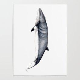 Minke whale Poster