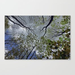 Tree canopy in the spring Canvas Print
