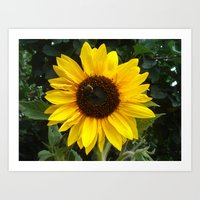 Sunflower with Bumble Bee Art Print