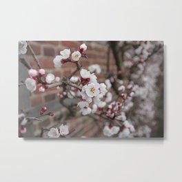 Cherry Blossoms at Mount Vernon Metal Print