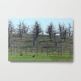 Wild Turkeys in Orchard Metal Print
