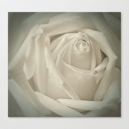 Soft White Rose Canvas Print